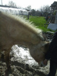 Cheval Betty - Fjord Femelle (Vient de naître)
