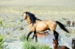 Cheval Mustang - Mustang Femelle (0 mois)