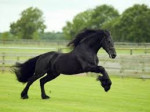 Cheval Race de cheval préféré - Mustang Femelle (8 ans)