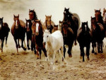 Cheval sauvages - Mustang Femelle (Vient de naître)