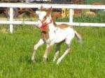 Cheval spirit - Mustang Femelle (4 ans)