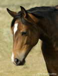 Cheval Josie - Mustang Femelle (2 ans)
