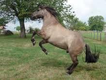 Cheval princer - Mustang Mâle (2 ans)