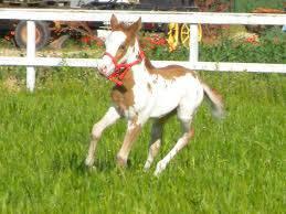Cheval spirit - Mustang Mâle (4 ans)