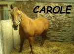 Cheval carole -  Femelle (7 ans)