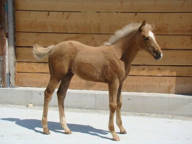 Cheval Destiny - Camargue Femelle (3 ans)