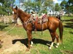 Cheval Estrella - Criollo Femelle (4 ans)