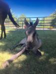 Cheval Indiana - Criollo Mâle (1 mois)