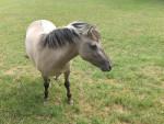 Cheval - - Cheval de Przewalski  (Vient de naître)