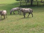 Cheval -- - Cheval de Przewalski Femelle (0 mois)
