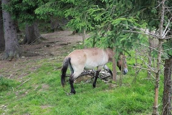 Cheval Wildparkpferd - Cheval de Przewalski  (0 mois)
