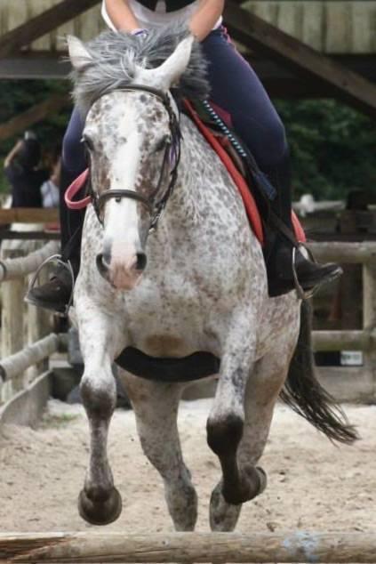 Cheval Pretty - Akhal-Teke Femelle (11 ans)