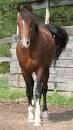 Cheval siara - Barbe  (Vient de naître)