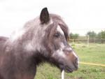 Poney Susi - Shetland Femelle (Autre)