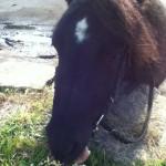 Cheval Thais - Shetland Femelle (7 ans)