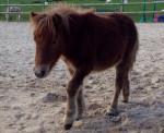 Poney Et Hop - Shetland Femelle (3 ans)