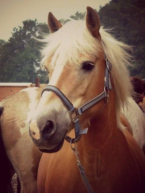 Poney Amina - Haflinger Femelle (4 ans)