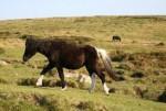 Poney sam sam - Dartmoor Mâle (6 mois)