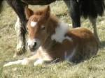 Poney cathlen - Dartmoor Femelle (6 mois)