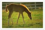 Poney Genmyni - Dartmoor Femelle (2 mois)