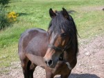 Poney Milord - Dartmoor Mâle (12 ans)