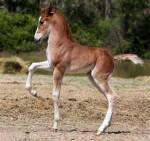 Cheval gauchito - Connemara Femelle (2 mois)