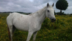 Cheval Queckolet - Connemara Femelle (12 ans)