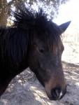 Poney Uplae-Boom - Connemara Femelle (5 ans)