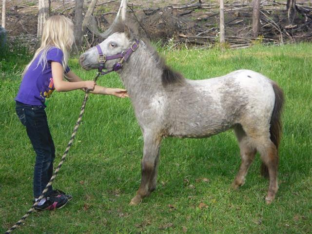 Poney silver when she was a baby - Shetland américain Femelle (2 mois)