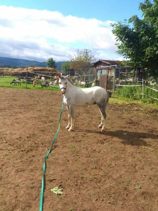Poney Welsh Mountain Pony A - Shetland américain Mâle (Autre)