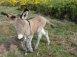 Âne canelle et son bébé 2 - Âne gris Mâle (6 mois)
