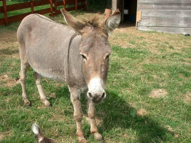 Âne Grisette - Âne gris Femelle (15 ans)