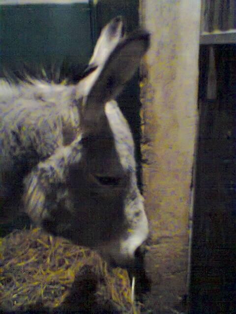 Âne Chonchon - Âne gris Mâle (0 mois)