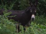 Âne Les ânes du Pilat - Grand noir du Berry Femelle (0 mois)