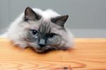 Chat Le Ragdoll -  (Vient de naître)