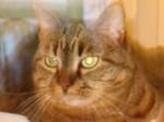 Chat Myrtille -  (Vient de naître)