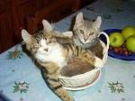 Chat La belle vie -  (Vient de naître)