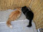 Chat Tassili et Tao espionnent -  (Vient de naître)
