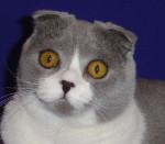 Chat Scottish fold bleue et blanche de un an -  (Vient de naître)