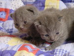 Chat Chatons de Zinnia -  (Vient de naître)