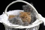 Chat Mes 3 amours -  (Vient de naître)