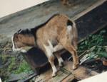 Chèvre Martin - Femelle (Autre)