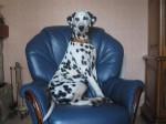 Chien Andy sur son canapé - Femelle (2 ans)