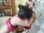 minnie - Cochon d'inde à poil dur (2 mois)