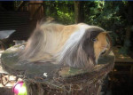 Cochon d\'inde à poil long Jaime - Mâle (2 ans)