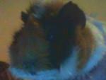 maxounette - Cochon d'inde avec pelage spécifique (3 mois)