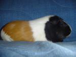 lili - Cochon d'Inde (3 ans)