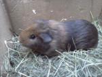 Caline - Cochon d'Inde (11 mois)