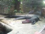 Crocodile Siole - Femelle (5 mois)