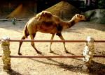 Camel - Dromadaire